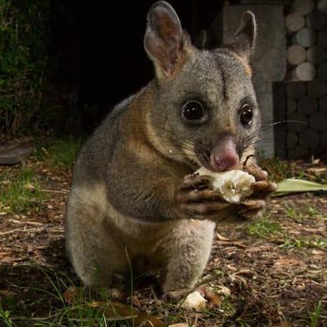 Possum  Piper